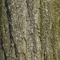 Symbiotic Relationships Between Trees & Lichens