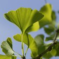 Does Ginkgo Go Bad?