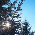 Relationship Between Mistletoe and Spruce