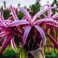 How to Care for Spider Lilies