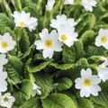 How to Plant and Care for Primroses