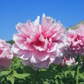 How to Grow Peonies in Texas