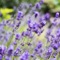 Does Lavender Oil Keep Away Mosquitoes?