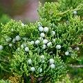 Cedar Tree's Growth of Orange Tentacles