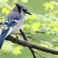 How to Build Birdhouses for Blue Jays