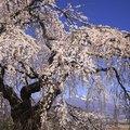 Weeping Cherry Tree Disease