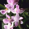What Is the Lifespan of an Orchid?
