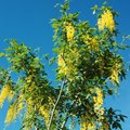 Problems With a Golden Rain Tree