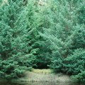 Fraser Fir vs. Balsam Fir