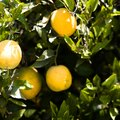 What Types of Fruit Trees Grow in Florida?