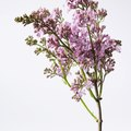 How to Extract Lilac Fragrance