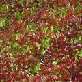 Growth Per Year of the Red Tip Photinia