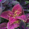 List of Plants With Purple & Green Leaves