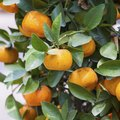 When Are Clementines in Season?