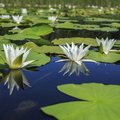 Facts on Water Lilies