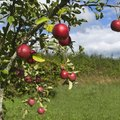 How Fast Do Apple Trees Grow?