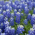 Facts on the Texas Bluebonnet