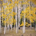 Difference Between Birch Trees and Aspen Trees