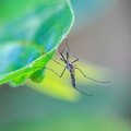 What Plants Repel Mosquitoes?
