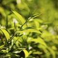How to Grow a Green Tea Plant