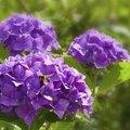 How to Make Hydrangeas Purple