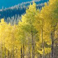 How to Stop Aspen Roots From Spreading