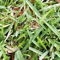Why Is My St. Augustine Grass Yellow?