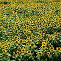 What's the Difference Between Sunflowers & Weeds?
