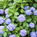 How to Get Hydrangeas to Bloom