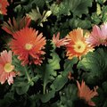The Difference Between Daisy Chrysanthemums & Gerbera Daisy