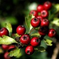 Bushes or Shrubs With Red Berries