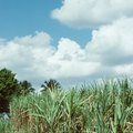 How to Grow Sugarcane Inside