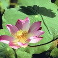 What Does the Lotus Flower Smell Like?