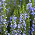 Common Problems With Rosemary Plants