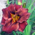 How to Grow Daylilies from Seedpods