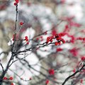 Is Winterberry Toxic?
