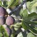 How to Water a Fig Tree