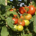 How to Use Diatomaceous Earth for Tomatoes