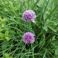 Difference Between Green Onions & Chives