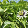 The Care of Passionflower Vines