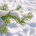 How to Save Dying Spruce Trees
