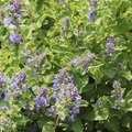 How to Cut Back Catmint