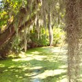 Symbiotic Relationship Between Spanish Moss & Trees