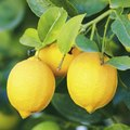 When to Transplant Lemon Trees?