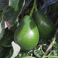 How to Graft Avocado Trees