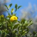 Ways to Use Lemon Tree Leaves