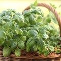 Minimum Temperatures for Basil Plants