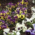 How Long Do Pansies Bloom?