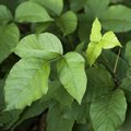 Will Diesel Fuel Kill Poison Ivy?