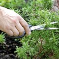 How to Save a Dying Rosemary Shrub